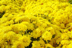 Yellow daisies in the sunight Royalty Free Stock Photos