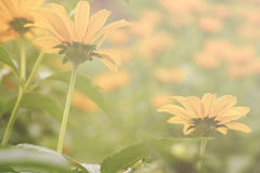 Yellow daisies and sunlight Stock Images