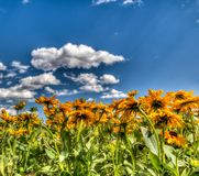 Yellow Daisies Under a Blue Sky Royalty Free Stock Photos