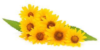 Yellow daisies. Royalty Free Stock Images