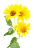 Yellow daisies. Stock Image