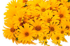 Yellow daisies on a white Royalty Free Stock Images