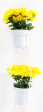 Yellow daisies in white pots at stand Royalty Free Stock Image