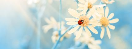 Free Yellow Daisies With A Ladybug In The Sunlight Against A Blue Sky, Border. Beautiful Spring Floral Art Background. Selective Focus Royalty Free Stock Image - 164467696
