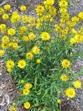 Yellow daisies. Xerochrysum bracteatum, commonly known as the golden everlasting or strawflower, is a yellow flowering desert plant native to Australia stock photography