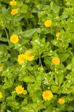 Yellow daisis and chickweed Stock Photo