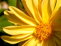 Yellow Daisy Stock Photos