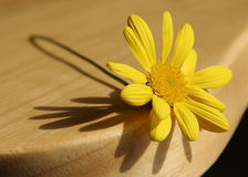 Yellow Daisy. On a chair Stock Photo