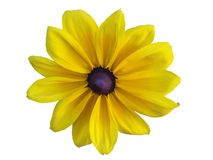 Yellow Daisy. (Rudbeckia hirta) isolated on white background stock images