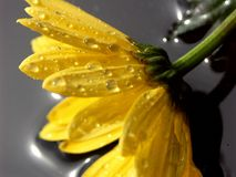 Yellow Daisy. A macro shot of a wet yellow daisy on its side. Shot with a Minolta A1 SLR camera Stock Images