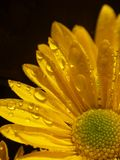 Yellow Daisy. A macro shot of a wet yellow daisy. Shot with a Minolta A1 SLR camera Royalty Free Stock Images
