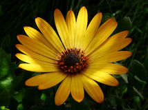 Yellow Daisy. Dappled light on a yellow daisy flower Stock Image