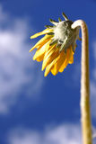 Yellow Daisy. From below Stock Photo