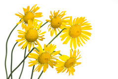 Yellow daisy. (chamomile) flowers on white stock photography