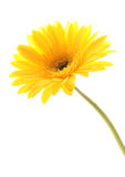 Yellow Daisy. Yellow gerber daisy in isolated white stock image