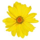 Yellow daisy. Royalty Free Stock Photography
