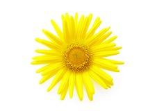 Yellow daisy stock image