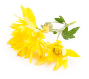 Yellow daisy Stock Images