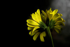 Yellow Daisy. The back of a double-headed yellow gerbera daisy against a dark background Royalty Free Stock Image