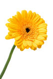 Yellow daisy. Isolated on white Stock Photography