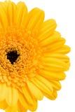 Yellow daisy. Isolated on white Stock Photos