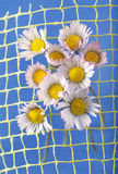 Yellow daisy. On a blue background Stock Photo