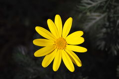 Yellow daisy. Close up of a yellow daisy Stock Images