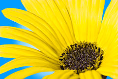 Yellow daisy. Details of bright yellow daisy flower with blue background Stock Images
