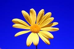 Yellow Daisy. Against a blue sky background stock photos