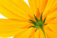 Yellow Daisy. Featuring the underside of a healthy, yellow daisy Royalty Free Stock Images