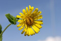 Yellow Daisy. Aigainst blue sky Royalty Free Stock Photo