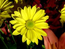 Yellow Daisy. Bright yellow daisy Royalty Free Stock Photography