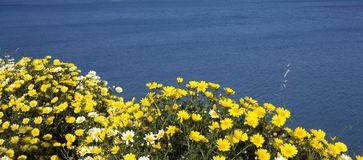 Yellow Daisy against blue sea. Yellow daisy spontaneous flower in foreground, over natural mediterranean blue sea Royalty Free Stock Images