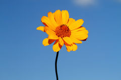 Yellow daisy against a blue sky Royalty Free Stock Photos