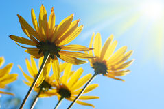 Yellow daisy against sunny sky Royalty Free Stock Photos