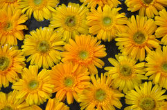 Yellow Daisy Background Royalty Free Stock Image