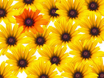Yellow Daisy Background. Yellow daisy flowers repeated as a background with a single orange bloom Royalty Free Stock Photos
