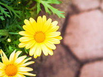 Yellow Daisy Background Stock Images