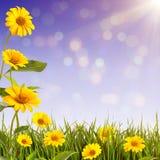 Yellow Daisy Background_5 Royalty Free Stock Photos