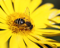 Yellow daisy and a bee on it Stock Image