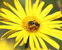 Yellow daisy and a bee on it Stock Photos