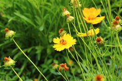 Yellow daisy and a bee. Yellow daisy, on which sits a bee Royalty Free Stock Images