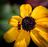 Yellow Daisy with big red ant Royalty Free Stock Photography
