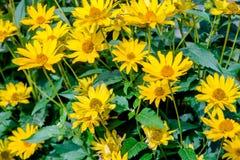 A yellow daisy Royalty Free Stock Image