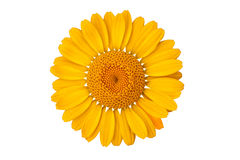 Yellow daisy blossom Royalty Free Stock Photos