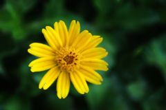 Yellow daisy blossom flower royalty free stock photos