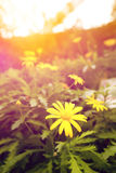 Yellow daisy blossom in the garden in early sunrise Stock Photos