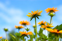 Yellow daisy with blue sky background Royalty Free Stock Photography