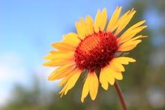 Yellow Daisy. Bright yellow daisy reaching toward the sky Stock Image