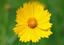 Yellow daisy Stock Photography
